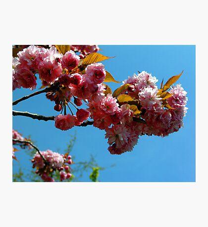Ornamental Cherry Blossoms Photographic Print