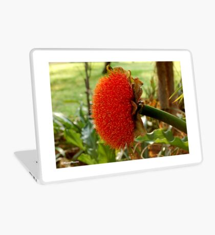 SCADOXUS puniceus – Blood Lily – Rooikwas Laptop Skin