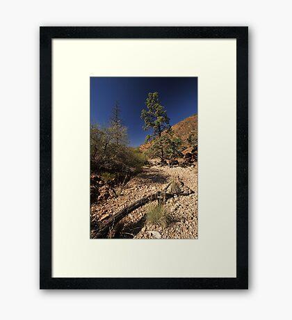 Desert Pine in dry outback creek bed Framed Print