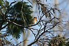 Singing Robin by davesphotographics