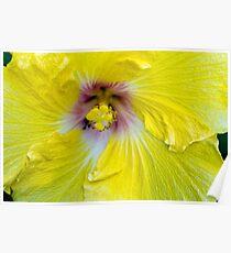 Yellow Hibiscus SRF 17 5799 Poster
