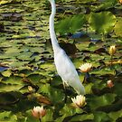 Great Egret in Lily Pond by Bette Devine