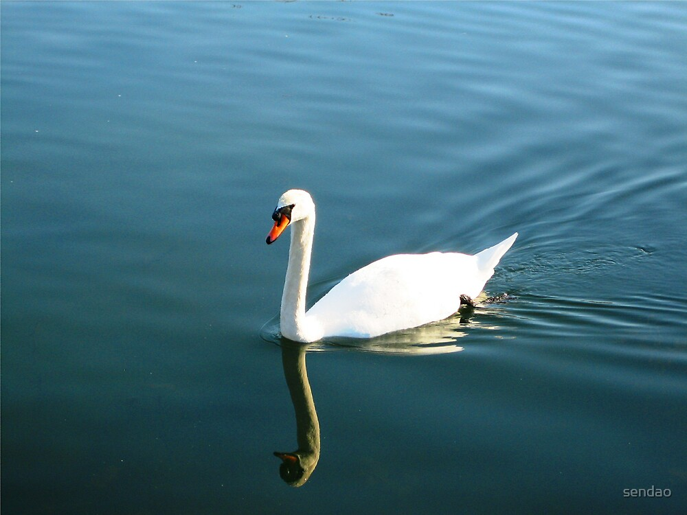 Canadian Swan.... by sendao
