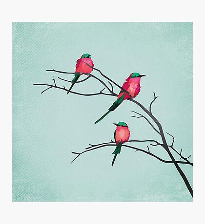 Cardinal birds Photographic Print