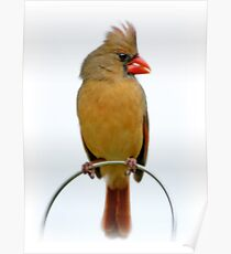 Northern Cardinal Female Poster