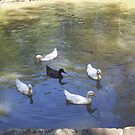 Duck circle by AmandaWitt