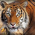 Tiger Eyes by Sharon Morris