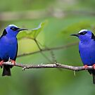 Red-legged Honeycreepers - Costa Rica by Jim Cumming