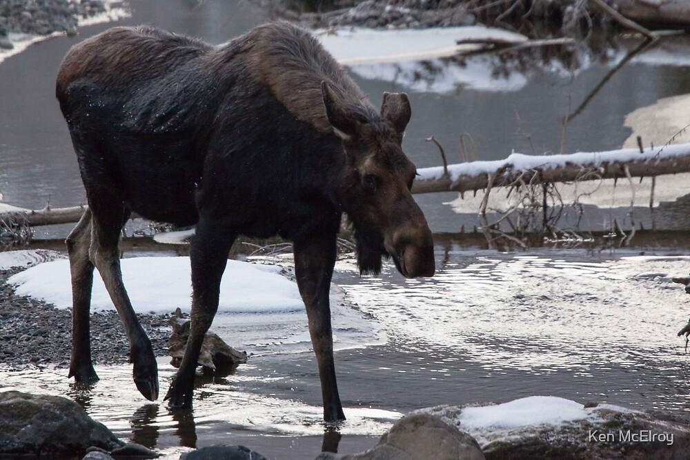Early Morning Moose by Ken McElroy