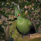 Schalow's Turaco by Krys Bailey
