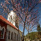Peach Blossom tree at Catholic Church, Sapa, North Vietnam by Bev Pascoe