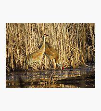 Sandhill Crane Pair Photographic Print