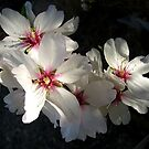 Almond blossom by Ingrid Funk