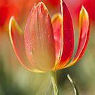 Open Red Tulip by Lindie Allen