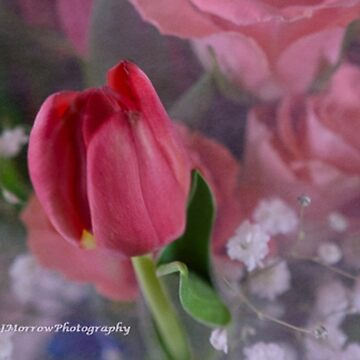 FOCUSED TULIP WITH FLORAL BACKGROUND by pjm286
