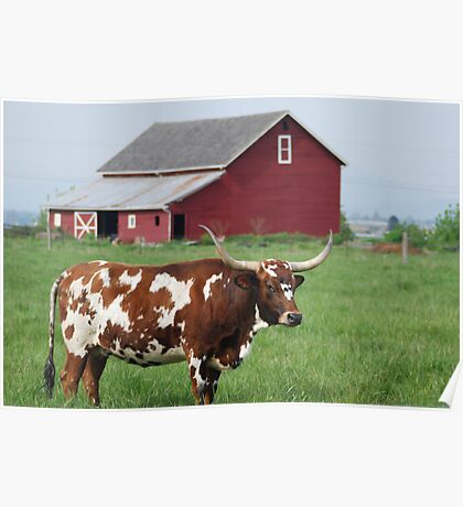 Longhorn and Red barn Poster