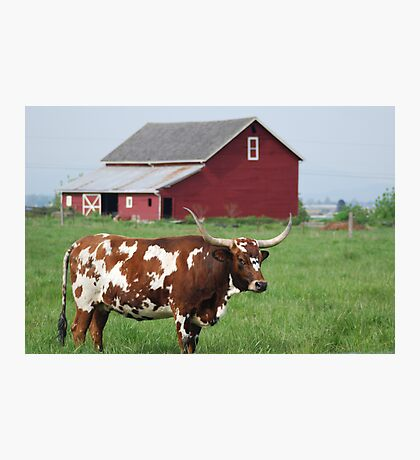 Longhorn and Red barn Photographic Print