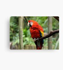 Macaw Macaw Canvas Print