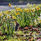 Easter Bunny in the Spring Daffodils by AnnDixon