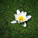 Pond's white pearl by Bluesrose