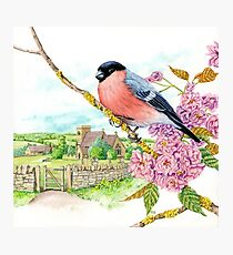 Bullfinch on Cherry Blossom (watercolour on paper) Photographic Print