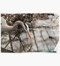 Great Blue Heron hunting Poster