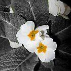 friendly white primroses 2 03/09/18 by Shellaqua