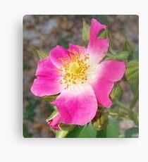 Swamp Rose (Rosa palustris var. scandens) and friend Metal Print