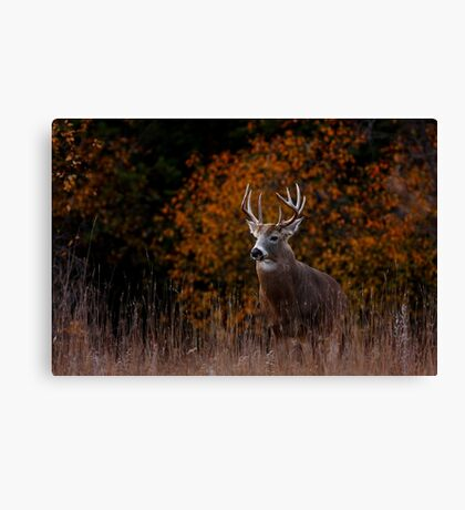 Early fall rut - White-tailed Deer Canvas Print