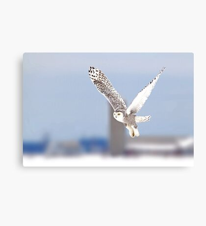 Along a country road - Snowy Owl Canvas Print