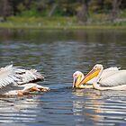Kenya. Lake Naivasha National Park. White Pelicans. by vadim19