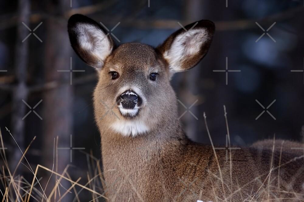 White-tailed Deer by Jim Cumming