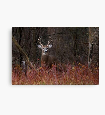 On alert - White-tailed Deer Canvas Print