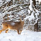 Young White-tailed Buck in snow by Jim Cumming