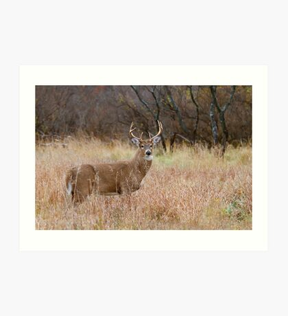 Which way did she go? - White-tailed Buck Art Print