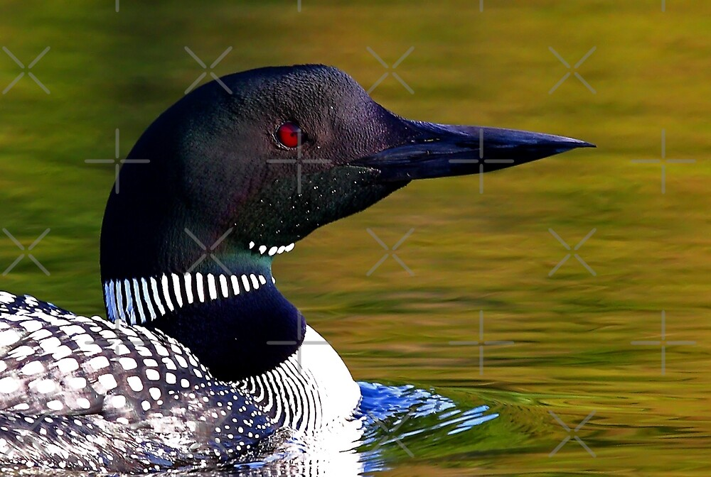 Loon closeup - Common Loon by Jim Cumming