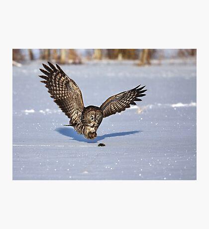 Great Grey owl catches a mouse Photographic Print