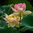 Lotuses by Bette Devine