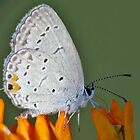 Eastern Blue-tailed Dining  On Orange Butterfly Weed by Ron Russell