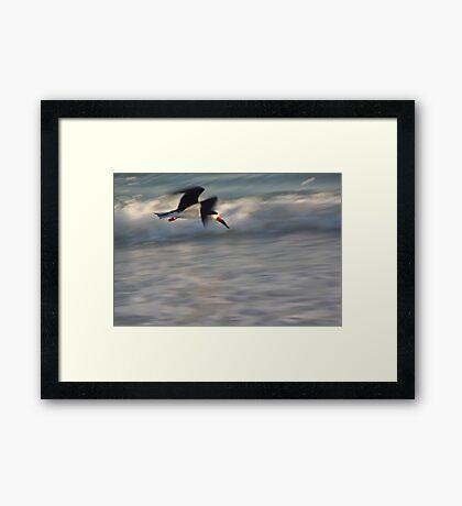 Black Skimmer in Blur  Framed Print
