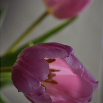 The Translucent Tulip by alisonchambers