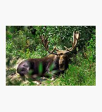 Moose Country Photographic Print