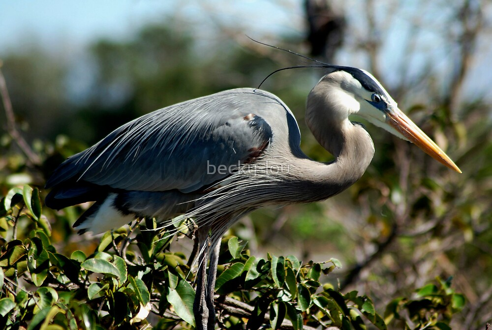 Great Blue Heron by becky-lou