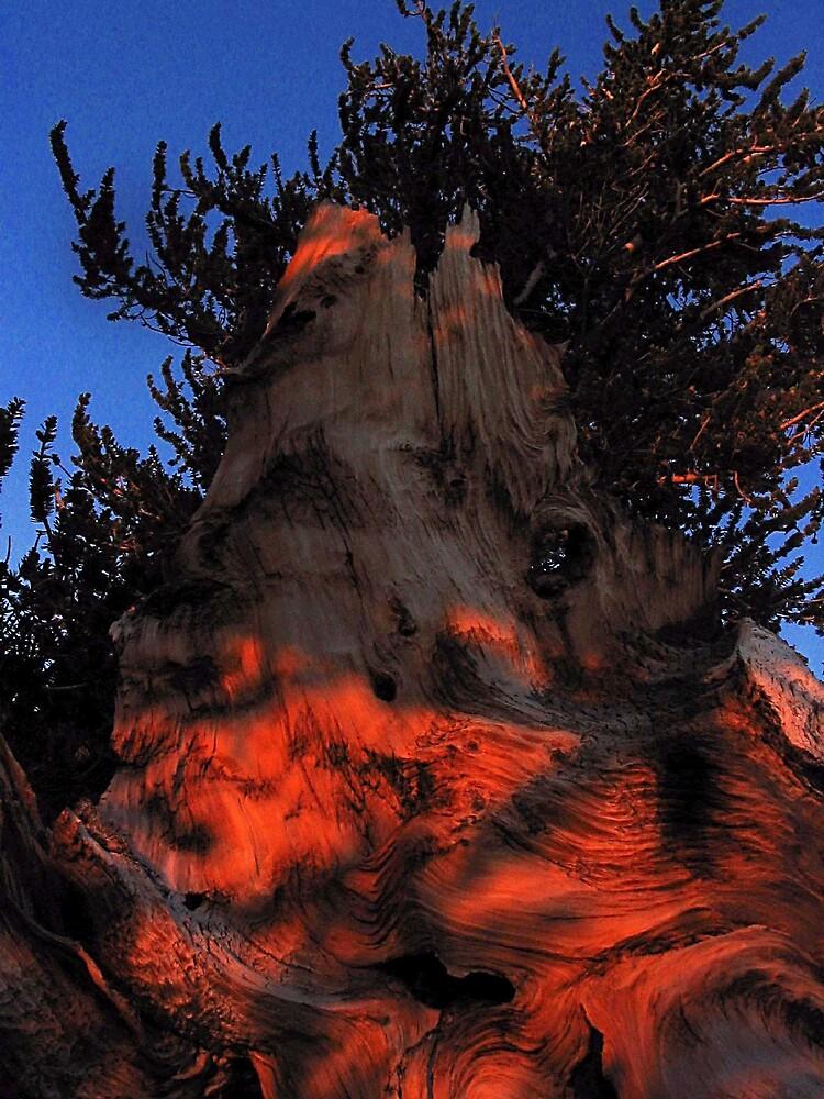 Ancient Bristlecone Pine, Eastern Sierra by Tyler  Core