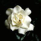 Gardenia by Ingrid Funk