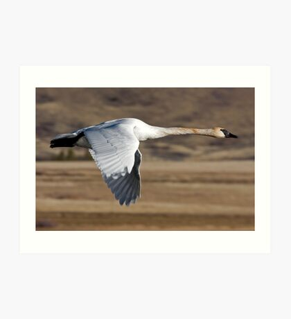Trumpeter Swan On The Wing Art Print