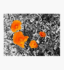 California Golden Poppies Photographic Print