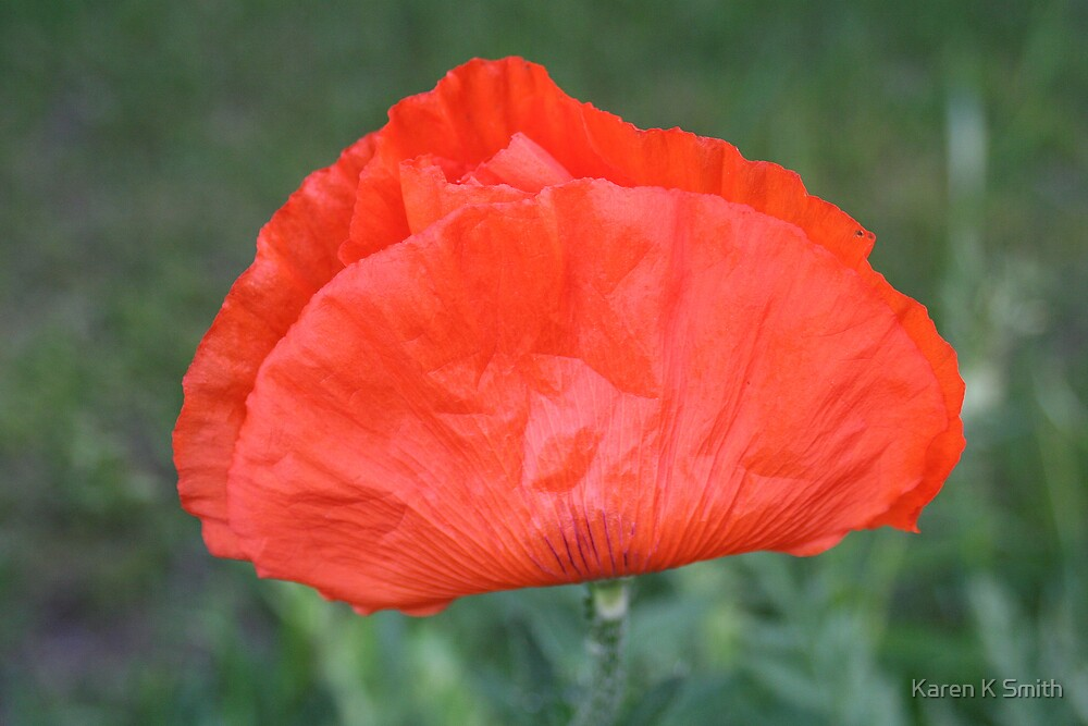 Poppy by Karen K Smith