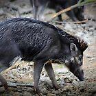 Wild boar by missmoneypenny