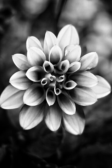 Black and White Flower by Rachel Jeffrey